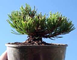 Gardening Zones Canada - miniature garden plant focus hardier than thou the mini garden