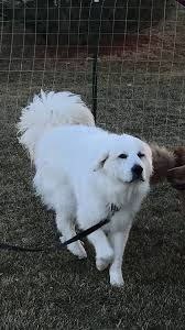 great pyrenees rescue provides wonderful dogs to good homes great pyrenees rescue of iowa home facebook