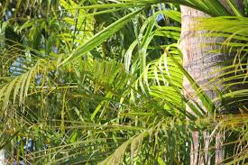 how to grow and care for the areca palm sproutabl