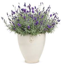 10 Best Perennials And Flowers by 10 Best Perennials For Containers Images On Pinterest Flower