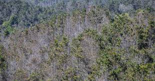 forests of fatalities after 70 million tree deaths worst still to