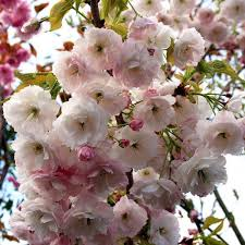 prunus shogetsu blushing flowering cherry tree mail