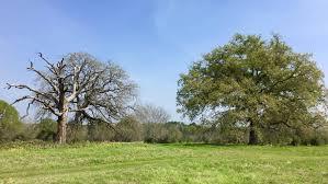 oaktrees like telling the