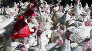 and terror why thanksgiving is tough for turkeys