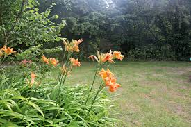 Day Lillies Little Loves