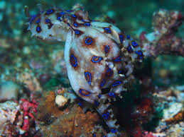 Octopus Home by Blue Ringed Octopus Eggs