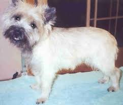 cairn terrier haircuts grooming your cairn terrier grooming your cairn cairnrescue
