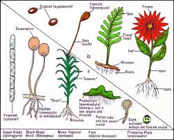 Life Cycle Of A Flowering Plant - lab manual exercise 8