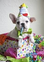 French Bulldog Meme - french bulldog birthday meme generator