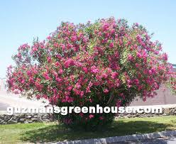 Flowering Shrubs That Like Full Sun - shrubs southwest desert plants that do well in the desert southwest