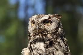 Owl Lovers by Nature Canada U2013 Who U0027s There Identifying Owl Calls