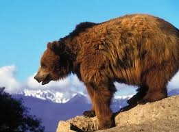 Bears Montana Hunting And Fishing - grizzly bears random montana fact montana hunting and fishing