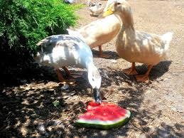 treat your ducks hgtv
