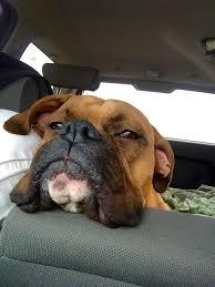 boxer dog quebec 3545 best boxers images on pinterest