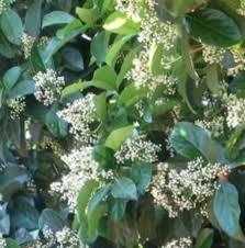 White Flowering Shrub - shrubs with fragrant blooms for the south south carolina garden guru
