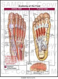 Anatomy Of A Foot The Bottom Of Foot Anatomy Bottom Foot Tendons Human Anatomy Charts