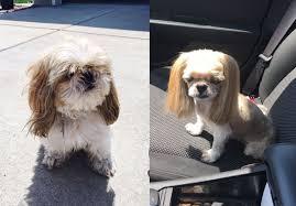 shih tzu haircuts josh pitruzzella s dad tried to cut corners with the dog s haircut