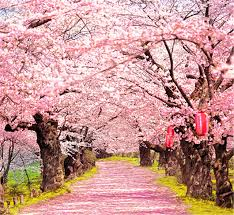 blossom trees peach blossom trees pink flowers road photography backdrop 5x7 for
