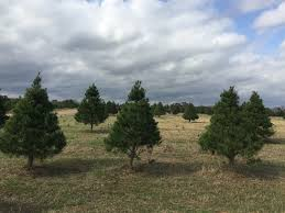 cut your own christmas tree at elgin christmas tree farm elgin tx