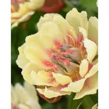 yellow peonies peony flower bulbs garden plants flowers the home depot
