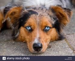 australian shepherd orange stunning blue eyed australian shepherd shepard tri color aussie