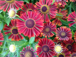 31 best helenium images on pinterest garden plants flower
