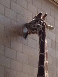 Giraffe Hat Meme - happy world giraffe day album on imgur