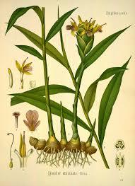 native american healing plants ginger zingiber officinale roscoe from köhler f e medizinal