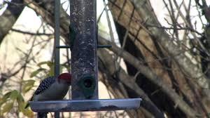 backyard birds new england youtube