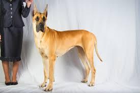 bluetick vs english coonhound judging soundness vs type american kennel club