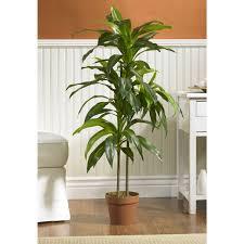 3 cornstalk dracaena good for filtering the air gardening