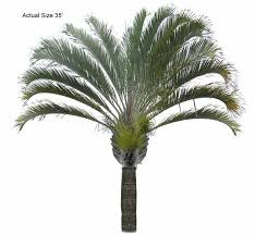 triangle palm tree dypsis decaryi large the ornamental plant store