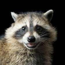 raccoon national geographic
