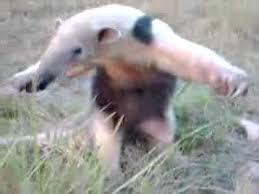 Anteater Meme - anteater standing on two legs youtube