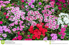 dianthus flower dianthus flower stock image image of pinks pink color 29912975