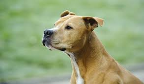 american pitbull terrier breeders st louis american pit bull terrier breed information