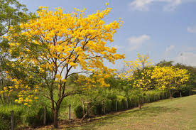 Yellow Flowering Trees - miscellaneous part ii panamá