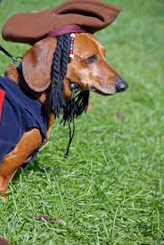 dapper halloween costumes best 25 dachshund halloween costumes ideas on pinterest