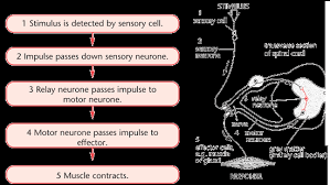 Knee Reflex Arc Types Of Response Cns Gcse Revision Biology Human Body