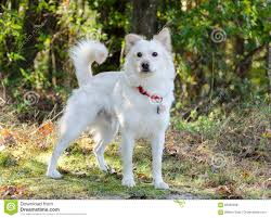 australian shepherd eskimo spitz mix white finnish eskimo spitz mixed breed dog stock photo image