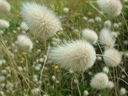 bunny grass lagurus ovatus wildlife photography