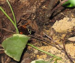 What Are The Red Bugs On Concrete by What To Do About Cicada Killer Wasps Build That Green