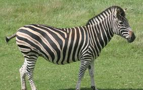perfect zebra picture for your website on animal picture society