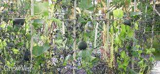 Growing Pumpkins On A Trellis How To Grow Squashes Vertically