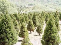 fir tree lovetoknow