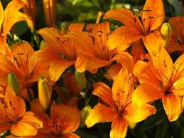 asian lilies when to plant tulips daffodils and other flower bulbs