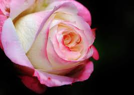 free images nature blossom petal summer love romantic