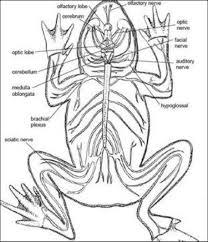 frog and human anatomy comparison ms pearrow u0027s 7th grade science