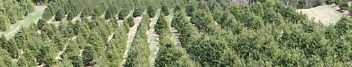 tree seedlings and transplants trees to please llc premium