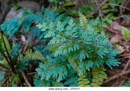 selaginella moss stock photos selaginella moss stock images alamy